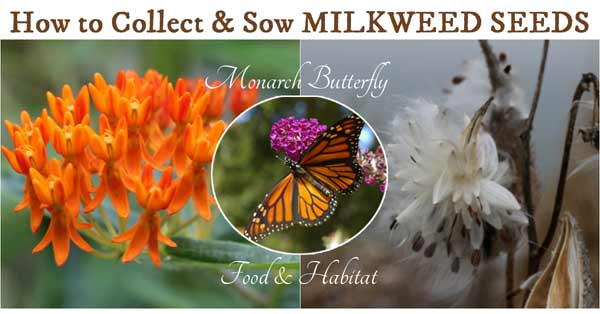 How to collect and sow milkweed seeds
