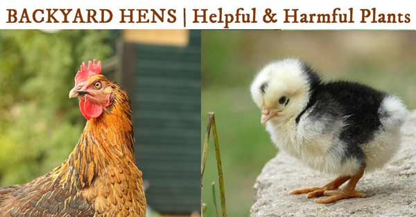 Keeping backyard chickens safe