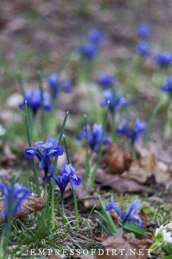 Lawn naturalized with blue-flowering bulbs.