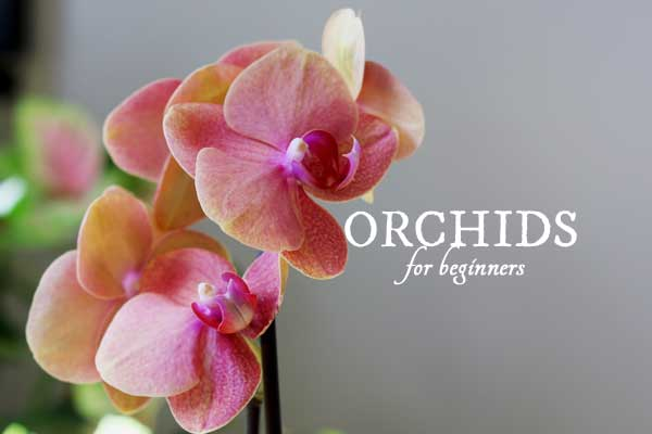 Orchids for beginners: a simple guide for the first-time orchid grower