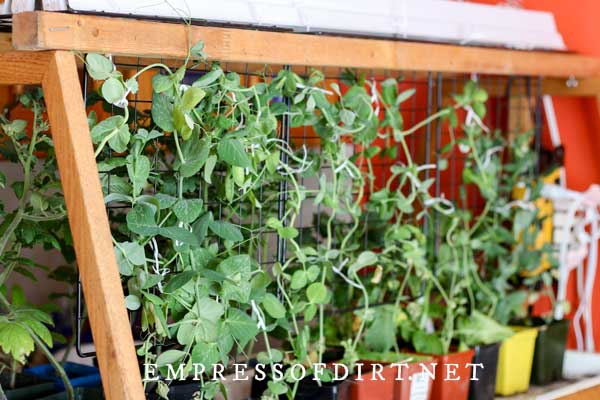 Peas growing on trellis indoors with grow lights.