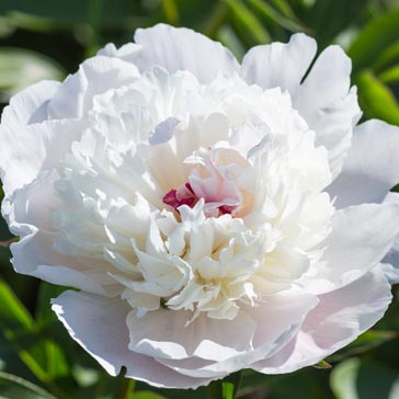 White peony flower with pink stamens.