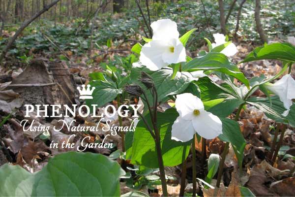 Phenology - using natural signs and signals in the garden