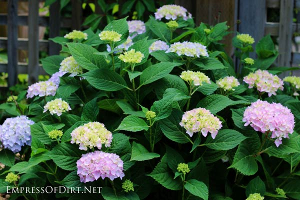 Pink and blue hydrangea flowers.
