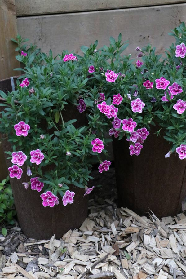 Charming pink flowers in old sap buckets.