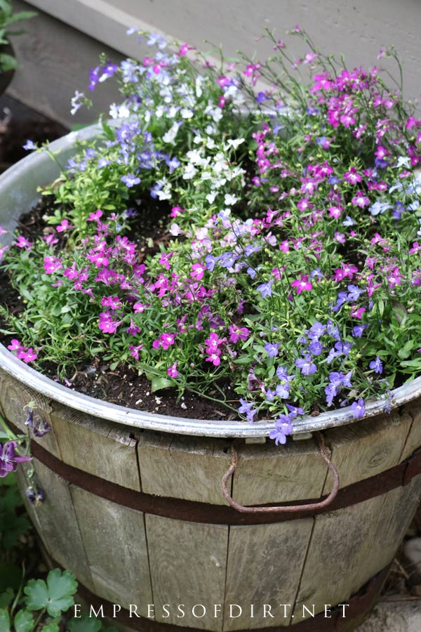 Pick your favourite colours of lobelia and fill a planter.