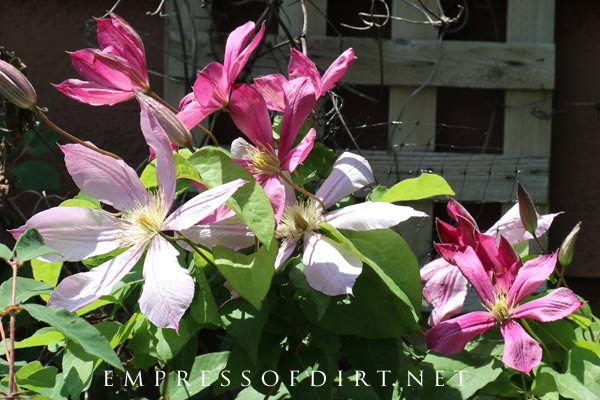 Clematis not blooming? Here's what you can do to get flowers.