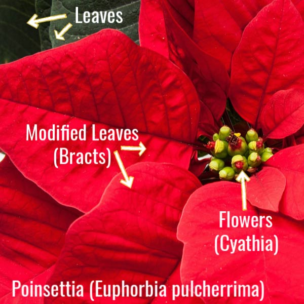 Parts of a poinsettia including the flowers, modified leaves, and leaves.