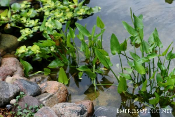 How to add fish to a backyard garden pond empress of dirt for Goldfish pond plants