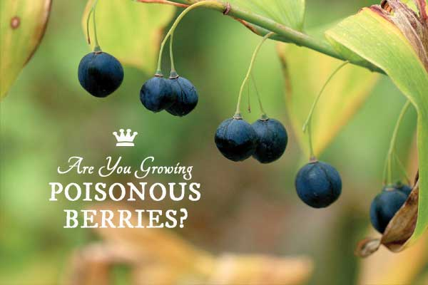 7 Popular Plants with Poisonous Berries