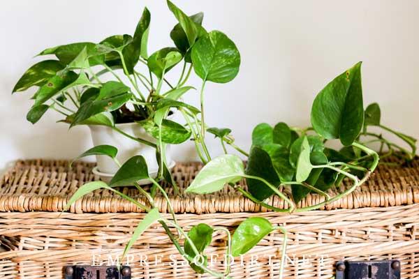 Pothos plant on wicker basket.