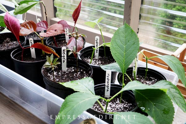 Propagating plants in a lean-to greenhouse.