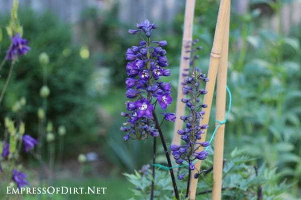 A simple trick to get a second set of blooms from delphiniums.