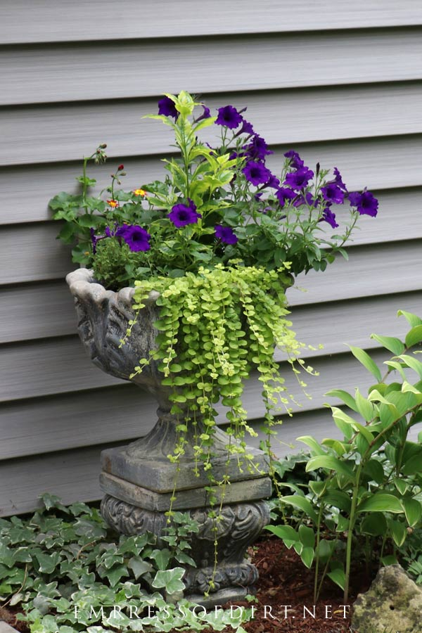 Old-fashion concrete urn with petunias and creeping jenny.