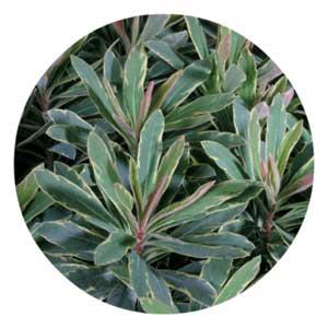 Helena's bush plant.