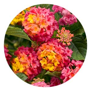 Lantana flowers.