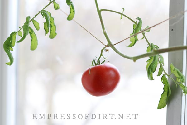 Large red tomato growing indoors on vine in front of window.
