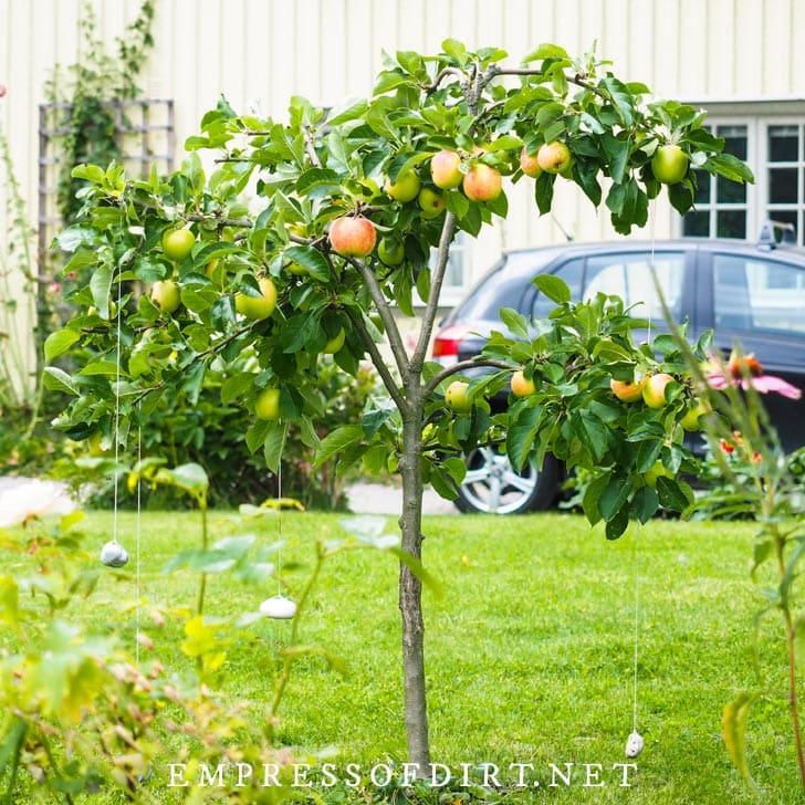 Dwarf apple tree growing in front garden.