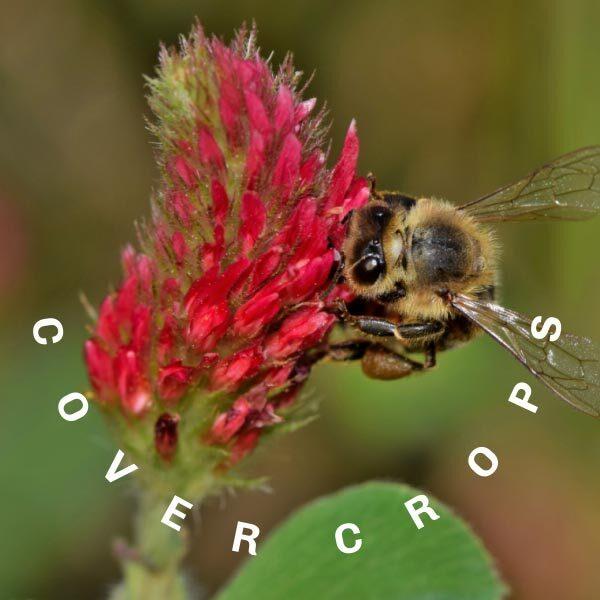 Crimson clover with a bee feeding on the nectar.