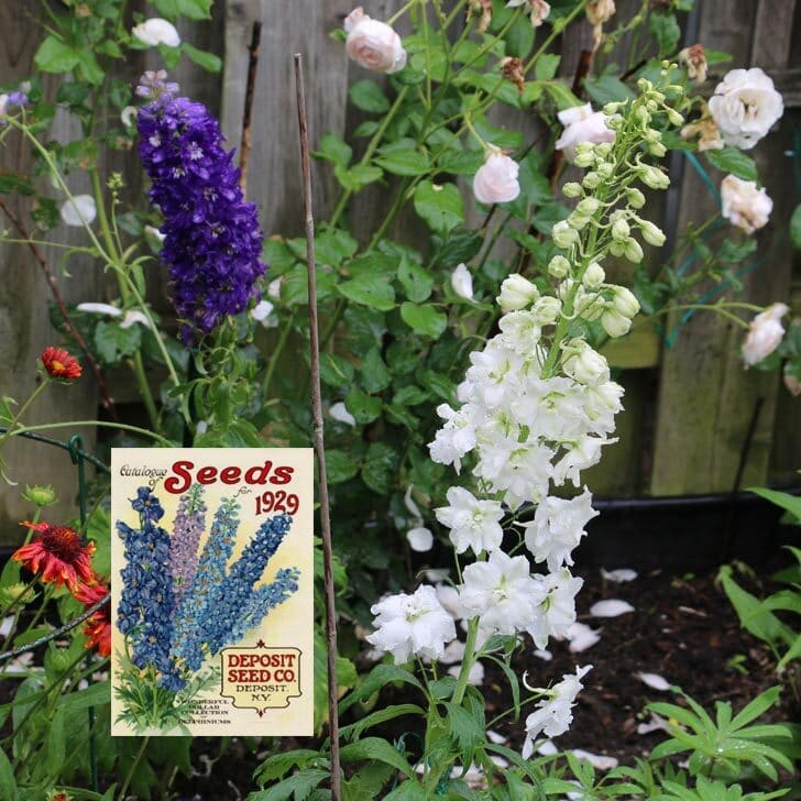 Delphinium flowers in the garden with purple, blue, and white blooms.
