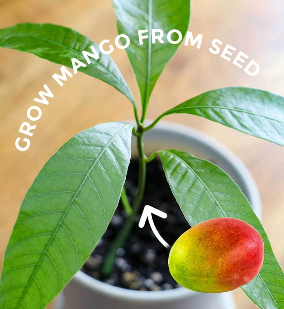 How To Grow Mango From Seed Easy Method Empress Of Dirt,French Country Style Interior Design Bedroom