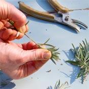 Preparing lavender stem cuttings for propagation