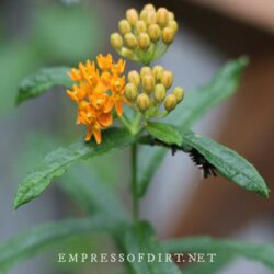 Butterflyweed (Asclepias tuberosa) in my garden. Milkweed tussock moth caterpillars (Euchaetes egle) are on the leaves