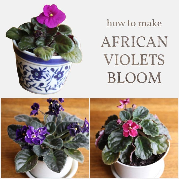 African Violets in pots with pink and purple flowers.