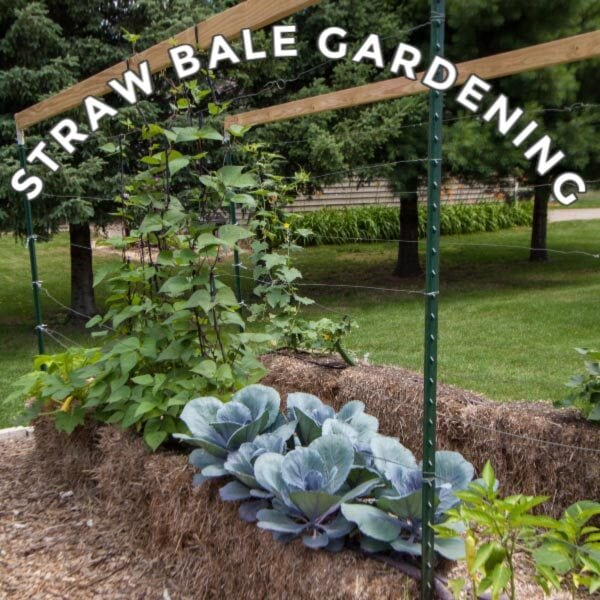 Straw bale garden with cabbage and beans.