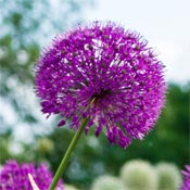 Purple allium flowers in garden.