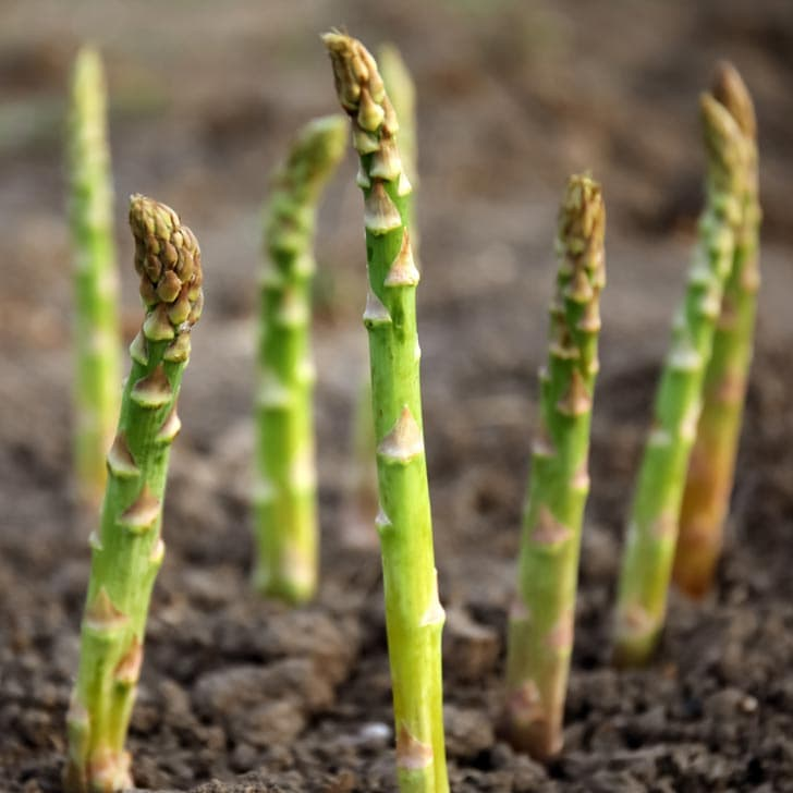 How To Grow Asparagus And Plant Crowns
