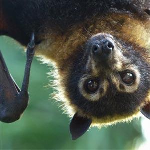 Bat (animal) hanging upside-down.