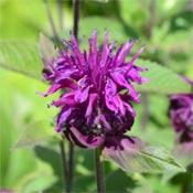 Purple bee balm monarda flower.