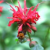 Red bee balm (Monarda) flower.