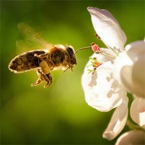 Bee flying toward flower.