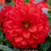 Red dahlia flower.