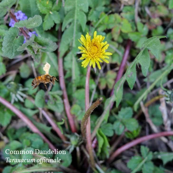Yellow flowering dandelion in the garden.