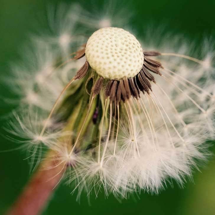 Dandelion flower head seeds.