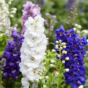 Various colors of flowering delphiniums.