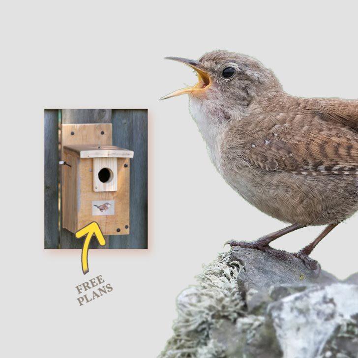 Wren bird with beak open singing a song and picture of wren nesting box.