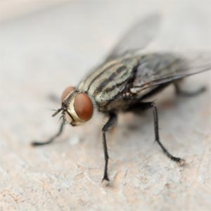 Close-up of fly (insect).