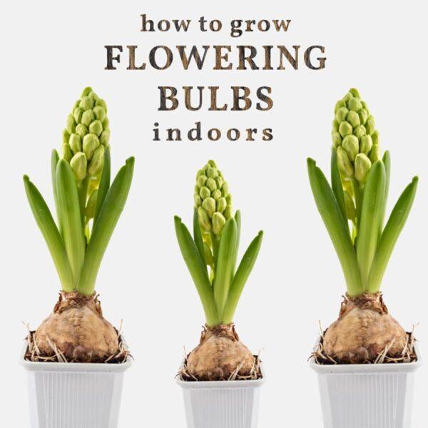 Hyacinth bulbs starting to bud.