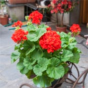 Red geraniums (Pelargoiniums) in a pot.