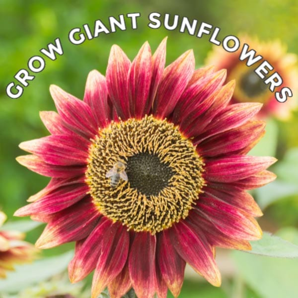 Large red and orange sunflower.