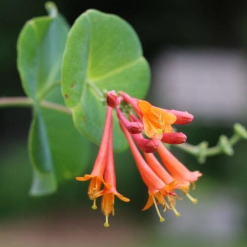 Orange and pink honeysuckle flower and green leaves.