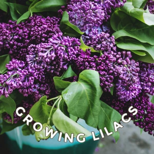 Growing lilacs - purple blooms.