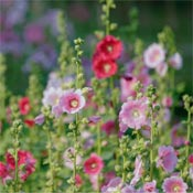 Pink and red hollyhocks blooming in garden.