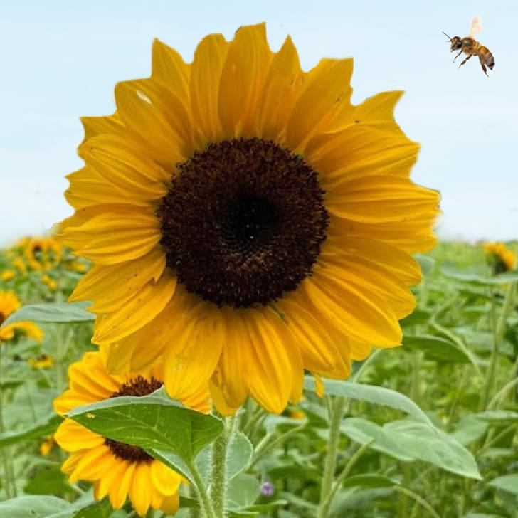 Giant yellow sunflower with bee flying nearby.