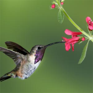 Hummingbird taking nectar from a red, tubular flower.