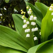 Lily of the valley plants